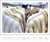 Things to consider before shopping for furs - Thumb
